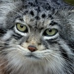 "It's actually ""Pallas's Cat,"" but no one on the Internet wants to write that. (Scott Liddell, Wikimedia Commons)"